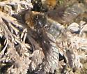 dusky bee fly