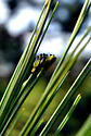 Tiny caterpillers - Neodiprion? - Neodiprion