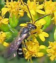 Halictus? - Lasioglossum