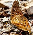 Texas Tawny Emperor? - Asterocampa clyton