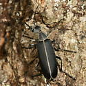 beetle - Epicauta funebris