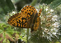 Unknown Fritillary butterfly - Boloria epithore