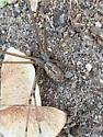 Cellar spider? - Holocnemus pluchei