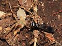 Spider Wasp - Priocnemis - female