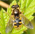 Syrphid fly - Blera humeralis - female