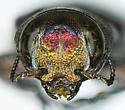 Chrysobothris micromorpha Fall - Chrysobothris micromorpha - male
