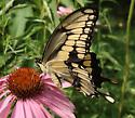 Giant Swallowtail - Papilio cresphontes - male
