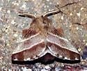 Eastern Tent Caterpillar  - Malacosoma americana