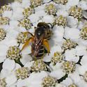Bee? - Halictus poeyi - female
