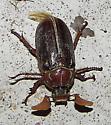 Monster Beetle - Polyphylla hammondi