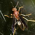 Paper Wasp - Polistes metricus - female