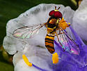 Syrphid Fly for ID - Allograpta obliqua
