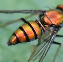 Beautiful Orange/Red and Black - Condylostylus - female