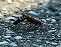 wasp queen... - Tremex columba - female