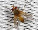Fly - Anisia flaveola - male