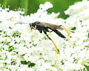 Ichneumonidae - ? Therion sp. - Exetastes suaveolens