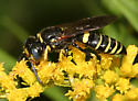 Bee Wolf - Philanthus solivagus