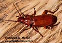 Hellumorphoides sp.? - Helluomorphoides latitarsis