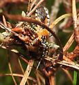Pselliopus - Pselliopus cinctus