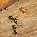 Eastern Ant Cricket - Myrmecophilus pergandei