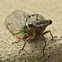 Cicada -  - Neotibicen linnei
