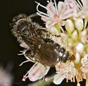 Sandhills Hymenoptera - Paratiphia