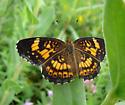 Nymphalidae, Silvery Checkerspot - Chlosyne nycteis