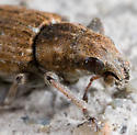 Entiminae, Genus Sitona? - Sitona lepidus