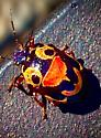 Ladybug dressed for Halloween??? - Stiretrus anchorago