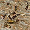 Vespula squamosa (Drury) - Vespula squamosa - female