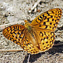 Fritillary - Speyeria coronis - male