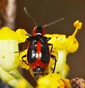 Sotf-winged flower beetle - Attalus trimaculatus? - Attalus trimaculatus