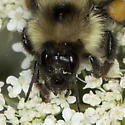 Bee IMG_4125 - Bombus vagans