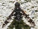 Bee Fly Anthrax irroratus - Anthrax irroratus