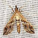 Eastern Lineodes Moth - Hodges #5106 - Lineodes fontella