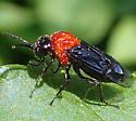 Sawfly - Tethida barda