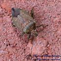 Stink Bug 01 - Podisus maculiventris - female