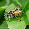 Bee or wasp mimic - Blera badia