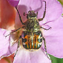 Hairy Flower Scarab - which species? - Trichiotinus piger