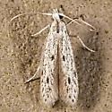 Octagonal Casemaker Moth - Homaledra octagonella
