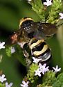 Scoliidae
