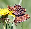 Boloria bellona - Meadow Fritillary - Boloria bellona - male - female