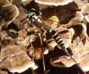 Ichneumon Wasp - Arotes amoenus