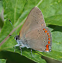 Coral Hairstreak - Satyrium titus - male