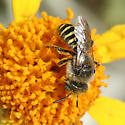 Bee - Calliopsis puellae - male