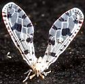 Diptera - Euklastus harti