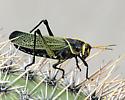 Horse Lubber Grasshopper - Taeniopoda Eques - Taeniopoda eques - male