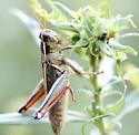 Which Grasshopper? - Melanoplus bivittatus - female