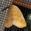 noctuid like Oxycilla? - Isogona punctipennis