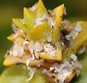 plant lice on seabeach sandwort